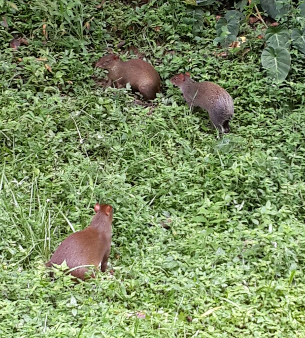 Introducing the Gamboa rainforest by SpanishPanama Spanish school. A daily activity is to see these cute rabbits called Igouti in the backyard. Gamboa is so rich in plant and animal life that lovers of nature visit Gamboa from all over the world. www.spanishpanama.com
